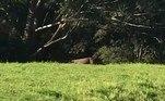 A publicação lembra que essa não foi a primeira vez que felinos semelhantes a panteras apareceram no estado de Nova Gales do Sul, cuja capital é SidneyVale o clique:Macabro! Corpo em decomposição é achado em mansão de milionário