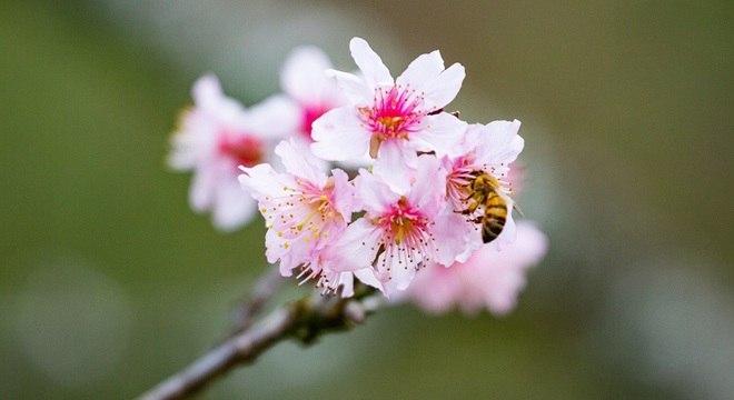 Festa das cerejeiras é cancelada em SP
