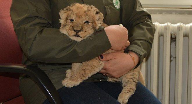 Este filhote de leão foi levado ilegalmente para a Turquia neste ano