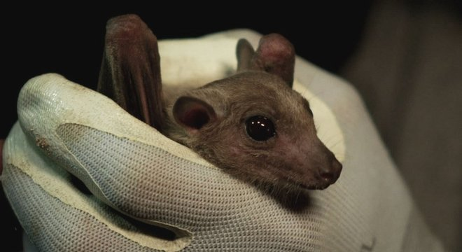 Alguns morcegos tropicais que comem frutas ajudam a distribuir sementes