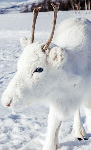 A aparência branca do animal é muito rara