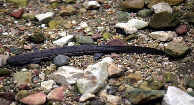 Salamandras-gigantes-da-China são uma das espécies que vivem no rio