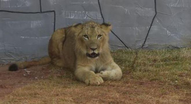 Madiba tem apenas 7 meses, 45 kg e tem ótimo contato com humanos