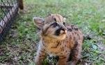 Os filhotes têm cerca de sete dias de vida e já têm o tamanho de um gato doméstico grande, explica o PM Douglas Moras Silveira, que atendeu a ocorrência