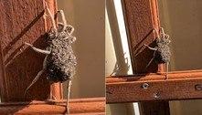 Filhotes pipocam sobre aranha em janela e fascinam moradora