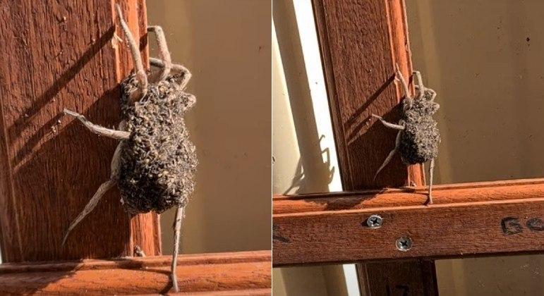 Aranha foi flagrada enquanto carregava centenas de filhotes inquietos