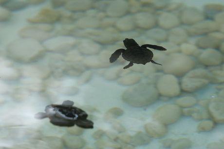 Filhotes de tartarugas protegidos pelo Tamar