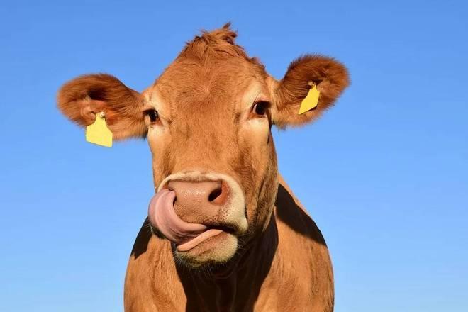 Nós respeitamos a ciência a ponto de qualquer coisa ter que inserir um 'científico' na frente para parecer respeitável. É exatamente por isso que admiramos o esforço de um grupo de pesquisadores australianos para salvar o mundo da forma mais esquisita possível: diminuindo a quantidade de peidos que as vacas soltam