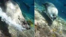 Sai, maluco! Lobo-marinho valentão expulsa mergulhador da água