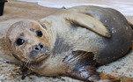 Uma equipe de veterinários foi ao local para salvar o mamífero marinho, que tinha uma nadadeira fraturado e um ferimento infecionado