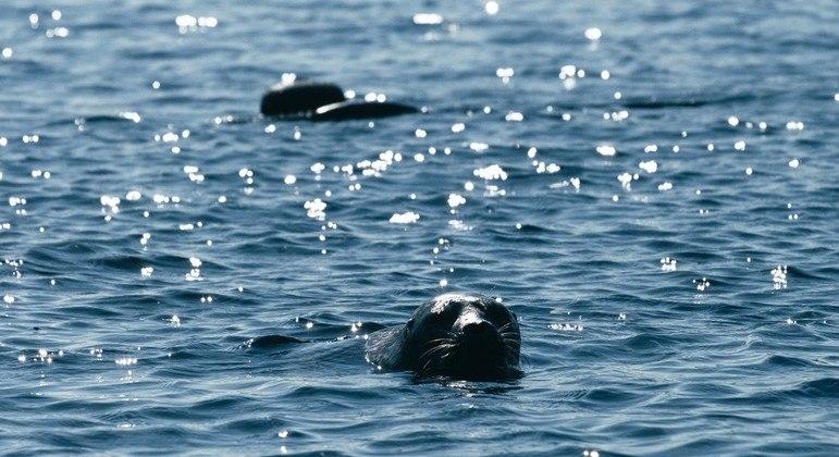Focas-aneladas encontradas na Finlândia ainda estão ameaçadas de extinção