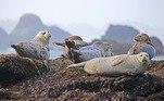 Apesar da população de leões-marinhos na região ser bem alta (cerca de 1 milhão só na Namíbia), existem preocupações quanto ao impacto das mortes no ciclo reprodutivo da espécieUm filhote