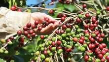 Período de colheita de café tem início em Marechal Floriano