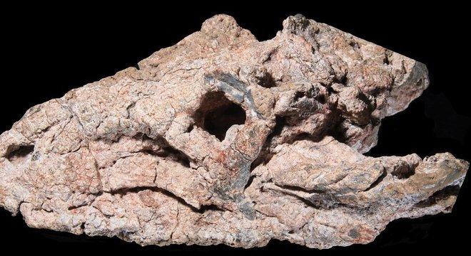 Fóssil doado a museu é composto por crânio, mandíbula, algumas vértebras do pescoço e placas ósseas do dorso do animal
