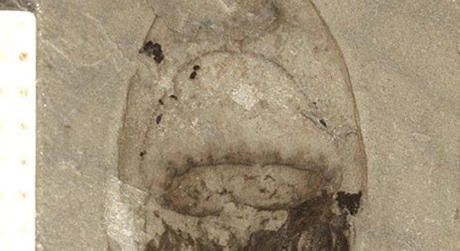 Fósseis de espécies de corpo mole, como a água-viva, são extremamente raros