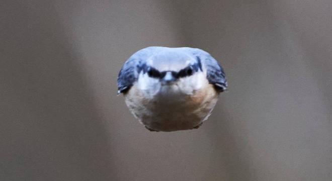Pássaro do gênero Sitta foi clicado em momento 'Angry Birds'
