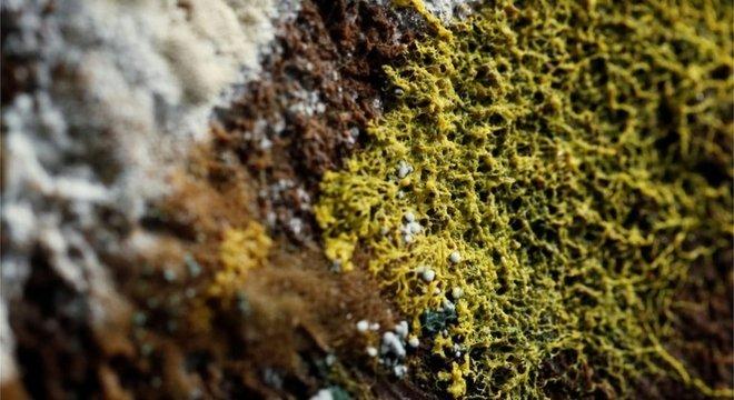 O Physarum polycephalum é considerado um dos maiores mistérios da natureza