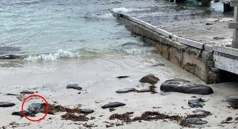 Lesmas-marinhas são difíceis de se detectar entre as rochas presentes na praia