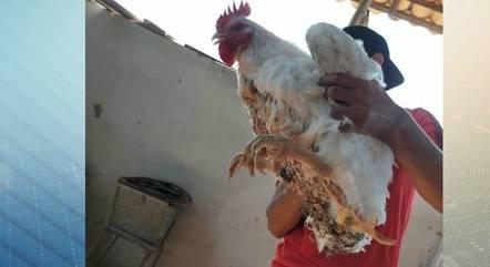 Frango se tornou o animal de estimação da granja
