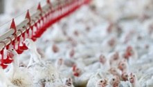 Milho dispara 50% em um ano e encarece carne de frango e ovos