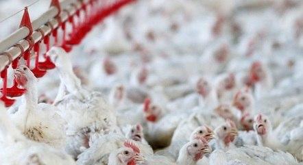 Milho mais caro guia alta dos frangos e ovos