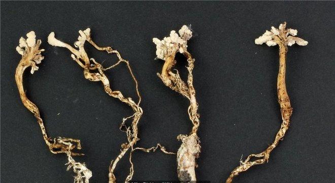 Um fungo que infecta ninfas de cigarras produz um composto transformado em um fármaco imunossupressor