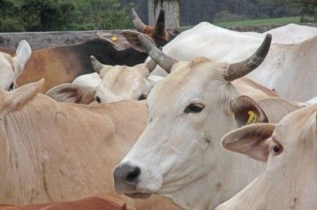 Abate de bovinos cresceu 4,1% se comparado a 2018