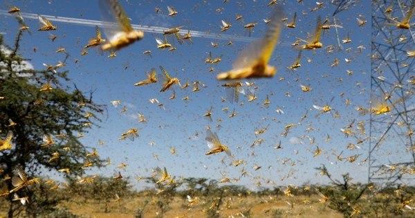 Ministério estabelece regras de combate à nuvem de gafanhotos – R7