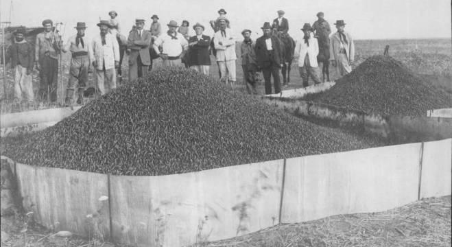 Produtores ruais em frente a montes de gafanhotos que eram incinerados