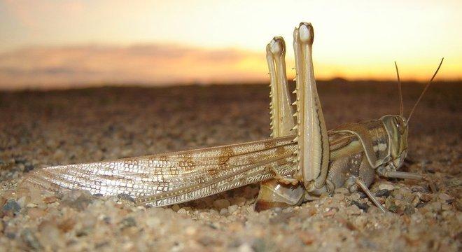 Gafanhotos do deserto formam rapidamente enxames e são uma ameaça à segurança alimentar