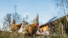 EUA pedem que população pare de beijar aves para evitar salmonella