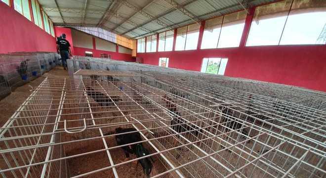 Mais de mil galos que seriam usados em rinhas são apreendidos em SP
