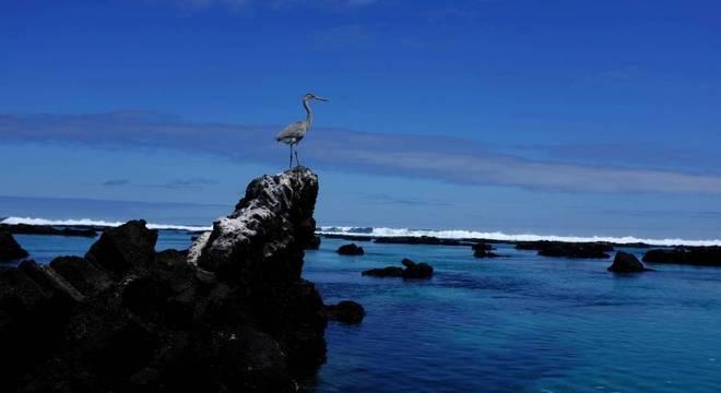 Garça pousa em rocha na ilha Isabela do Parque Nacional de Galapagos