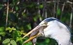Essas aves são conhecidas justamente por não terem medo de comer animais de variados tamanhos — assim como os pelicanos