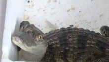 Garoto compra peixe na web, mas recebe crocodilo quase extinto