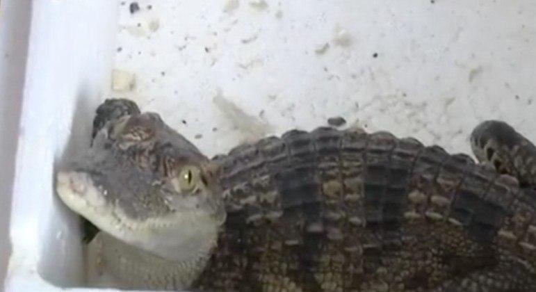 Criança chinesa comprou peixe pela internet, mas recebeu filhote de crocodilo quase extinto