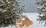 Embora tenha ganhado um lar aconchegante, Ginger parece confortável na vida selvagem
