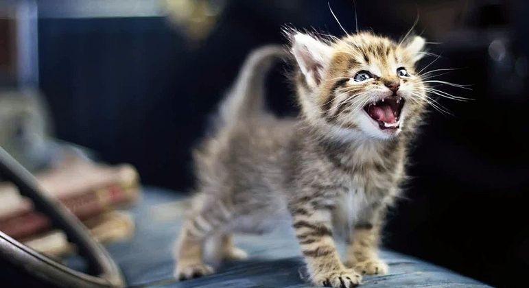 Gatinho miando - o que significam os diferentes tipos de miados do animal