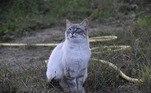 Um estudo publicado em 2013, por Scott R. Loss, do Smithsonian Conservation Biology Institute, afirma que gatos matam entre 1,3 e 4 bilhões de pássaros, além de entre 6,2 a 22,3 bilhões de mamíferos — todos os anos, apenas nos Estados UnidosLEIA TAMBÉM: Novos emojis aprovados expressam exatamente o que é viver em 2020