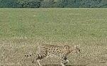 Um antigo mistério britânico acaba de ganhar um novo capítulo: um novo gato selvagem foi visto em um parque da região rural da cidade de Cambridge, no leste da Inglaterra
