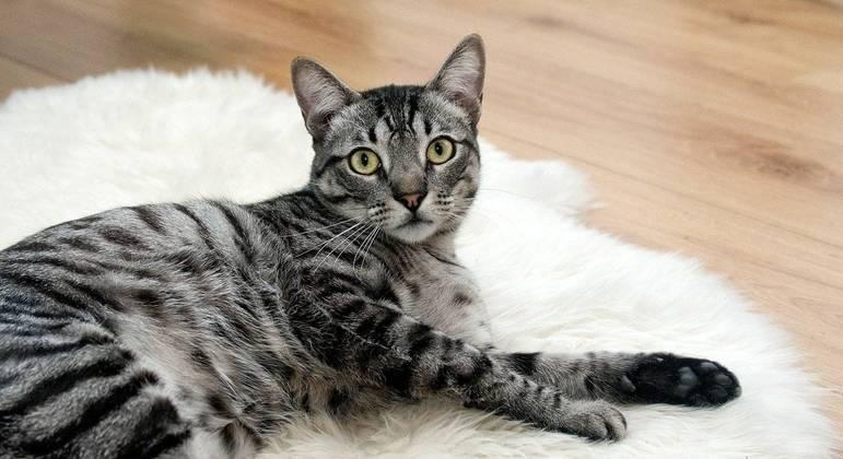 Pesquisa identificou que os gatos estão mais afetuosos com os donos durante a pandemia de covid-19