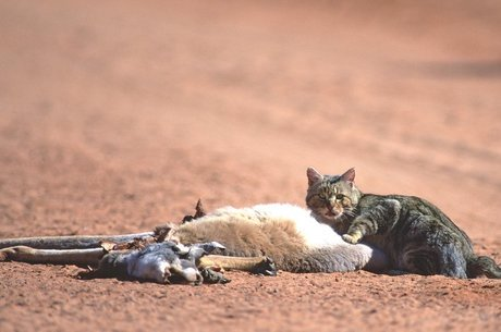 Gatos selvagens são uma ameaça para mais de 100 espécies selvagens na Austrália