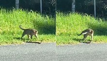 Gato sem noção do perigo desafia serpente mortal à beira de estrada