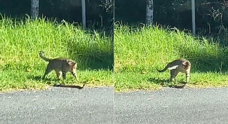 Gato maluco desafiou serpente altamente venenosa à beira de estrada na Austrália