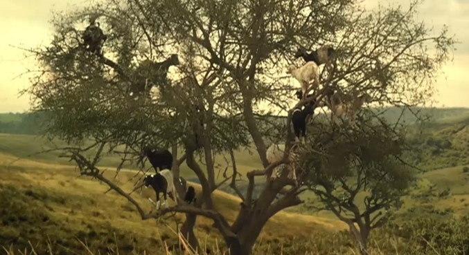 Veterinário explica como cabras conseguem subir em árvores