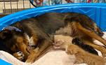 Infelizmente, um dos gatinhos morreu na primeira noite, mas os outros três ficaram perfeitos sob os cuidados da nova mãe