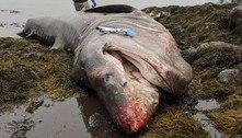 Gigante dos mares! Pescadores acham carcaça de tubarão-elefante