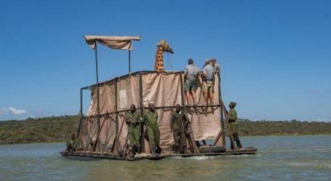 Homens transportam girafa para um local seguro