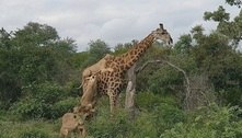 Chocante! Girafa sobrevive durante 5 horas a ataque brutal de leoas