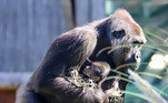 """""""O novo gorila se junta à nossa tropa de seis gorilas, que fazem parte de um programa de reprodução para ajudar a proteger o futuro dos gorilas das planícies ocidentais"""", explicou o Bristol Zoo"""